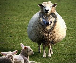 pastores lobos